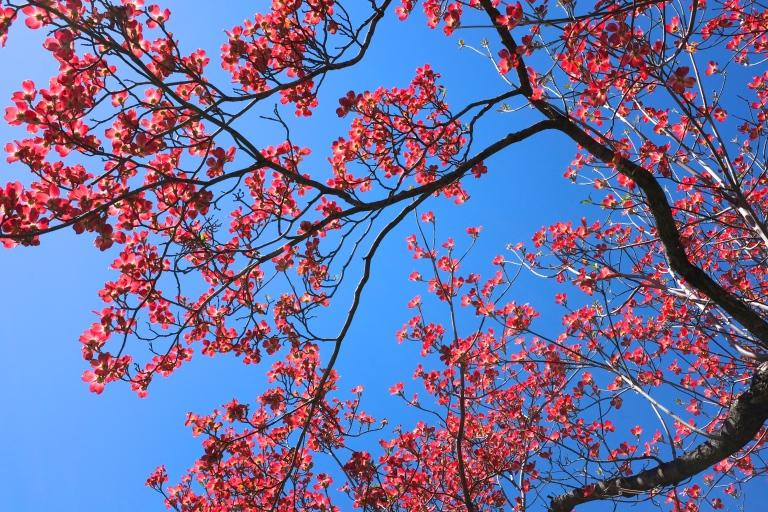 Dogwood tree, Washinton DC
