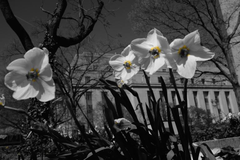Narcissi, Washington DC